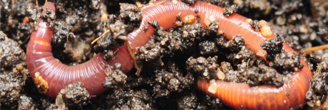 Les vers de terre français menacés par une espèce invasive