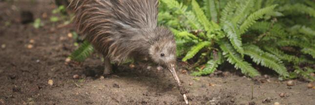 La Nouvelle-Zélande se mobilise pour sauver ses kiwis