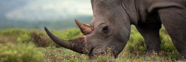 Tragédie au Kenya: des rhinocéros noirs meurent suite à leur transfert