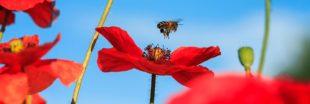 Le coquelicot, star rebelle de la biodiversité
