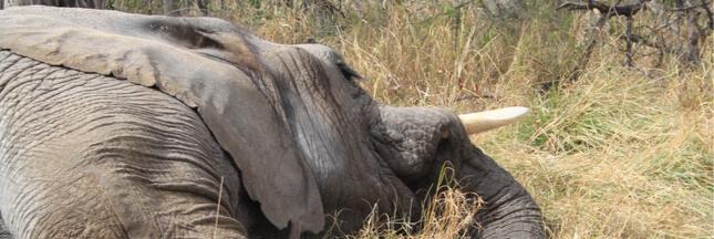 Consternant et triste: l'Afrique enregistre le massacre d'éléphants le plus important de son histoire