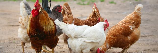 Qu'avons-nous fait à nos poulets en seulement 60 ans d'exploitation?
