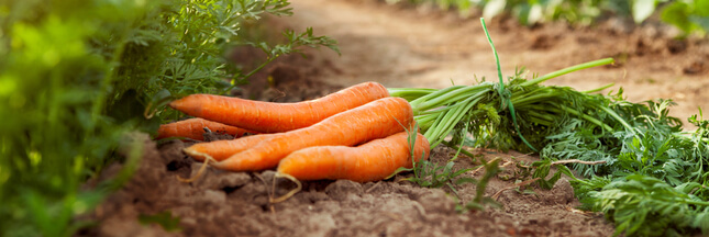 Association de culture: bonnes et mauvaises fréquentations de la carotte