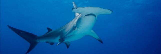 Aquarium Nausicaá: 28 requins-marteaux morts et une addition salée