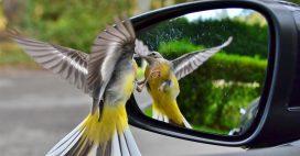 Ces animaux qui se reconnaissent dans un miroir