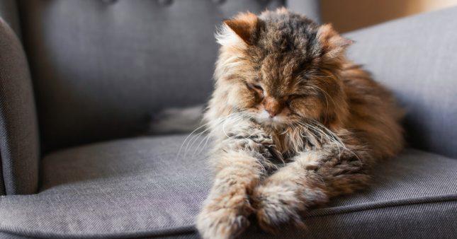 Comment soigner l'arthrose du chat naturellement?