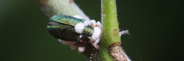 Des champignons infectés par un virus pour remplacer les pesticides chimiques?