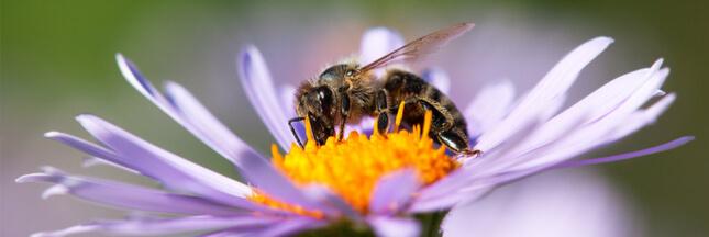 sondage abeilles