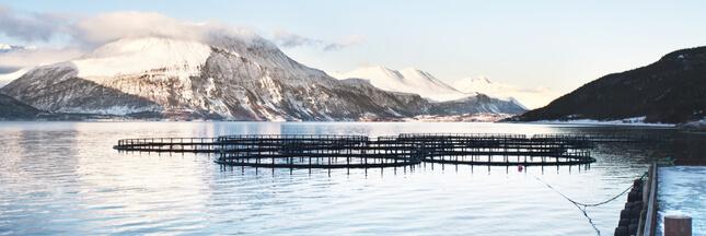 Une algue décime les élevages de saumons de Norvège