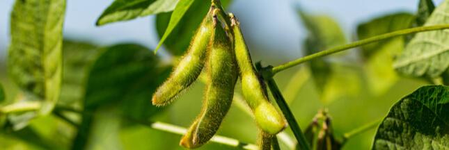 Le soja OGM englouti par les élevages européens contribue à la déforestation