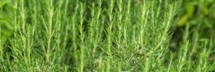 Plantes aromatiques - Comment planter du romarin