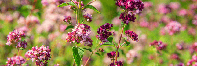 Plantes aromatiques – Comment planter de l'origan