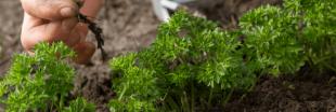 Plantes aromatiques - Comment planter du persil ?