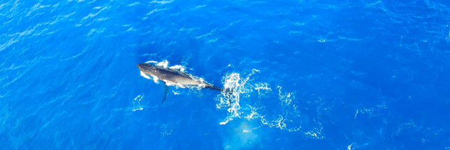 Pourquoi les mamans baleines franches chuchotent avec leurs petits?
