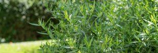 Plantes aromatiques - comment planter de l'estragon ?