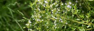 Plantes aromatiques : comment faire pousser de la sarriette