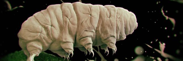 Zoom sur le Tardigrade, un animal petit mais costaud!