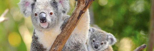 La cryogénie, ultime espoir pour sauver les koalas qui disparaissent dans les flammes?