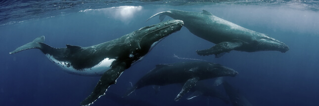 Si les humains vivaient comme des Baleines…