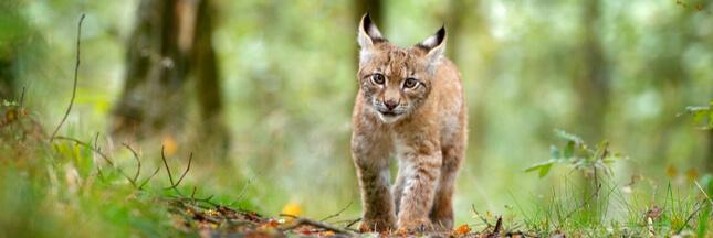 Pendant que certains sont confinés, d'autres tuent du lynx dans le Jura!