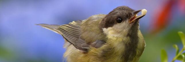 Confinement: pourquoi il ne faut pas nourrir les oiseaux