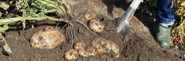 Comment et pourquoi cultiver des pommes de terre en tour