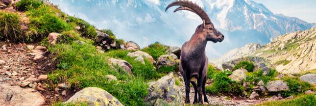 Un nouvel abattage de bouquetins controversé dans les Alpes