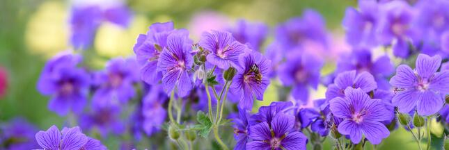 6 fleurs de balcon qui durent longtemps!