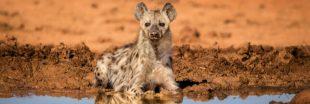 Si les humains vivaient comme des hyènes...