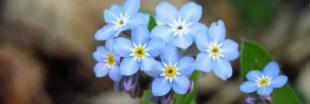 Le myosotis ? Une fleur qui ne s'oublie pas !