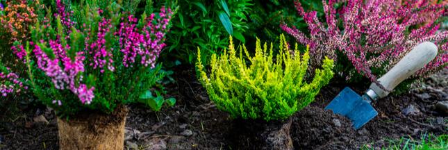 Les plantes de terre de bruyère, reines des jardins fleuris