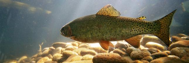 Les trois-quart de la population de poissons d'eau douce migrateurs a disparu