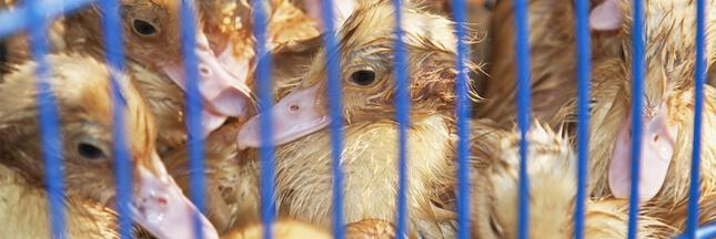 Horreur dans un élevage de canards au Pays Basque: L214 réclame sa fermeture