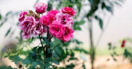 Jardinage: en août, enlevez les fleurs fanées