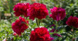 En automne plantez la pivoine, la reine des bouquets de printemps