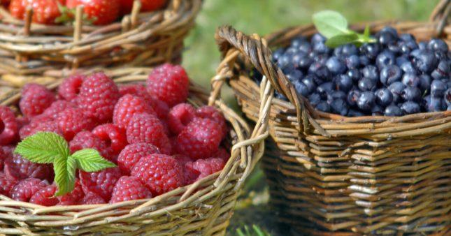 Cassis, framboises, mûres, ou myrtilles: les fruits rouges au jardin