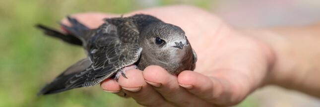 Dans la famille biodiversité ordinaire, protégeons le martinet noir