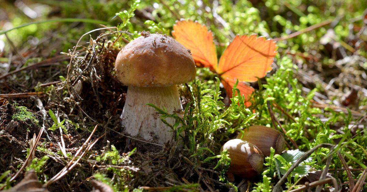 cueillette des champignons en ce moment