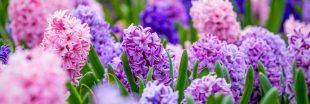 Bulbes de printemps ou bulbes d'automnes : les bases pour se lancer
