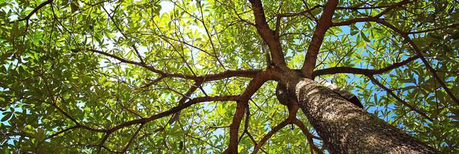 Les arbres, un bouclier contre le réchauffement climatique mais à quel prix?