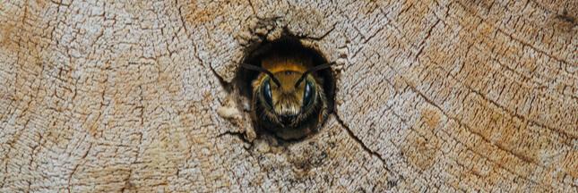 Dans la famille biodiversité ordinaire, protégeons les Osmies
