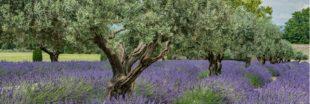 Tous les conseils pour savoir comment tailler un olivier