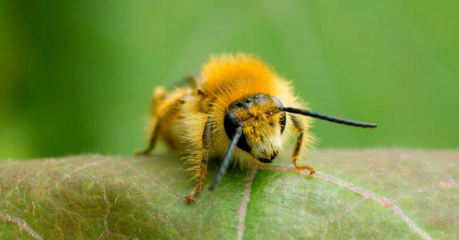 Un quart des espèces d'abeilles semblent avoir disparu