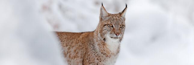 #Balancetonbraco: après un nouveau lynx tué, une association attaque les chasseurs