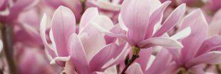 Tous les conseils pour maîtriser la taille du magnolia