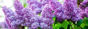 Tous les conseils pour maîtriser la taille du lilas