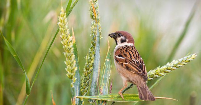 Pour les oiseaux aussi, manger bio c'est meilleur