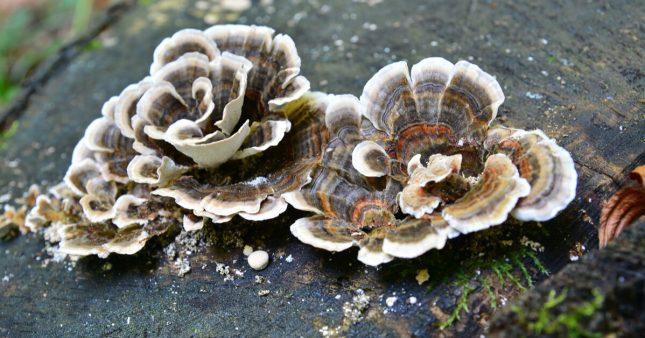 Les super champignons: Phellinus linteus et coriolus versicolor