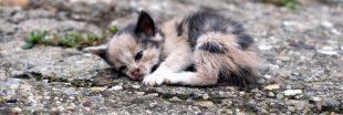 Les abandons de chats explosent en France - les euthanasies aussi.