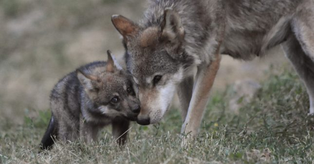 Braconnage et tirs dérogatoires finiront par avoir la peau du loup en France